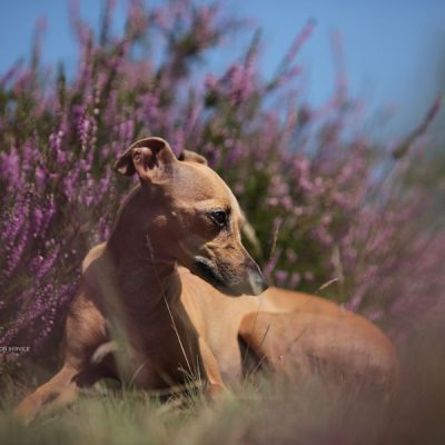 heidehund1
